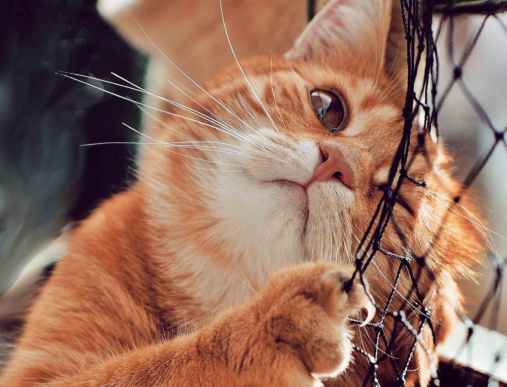 Gato poniendo feromonas con las mejillas.