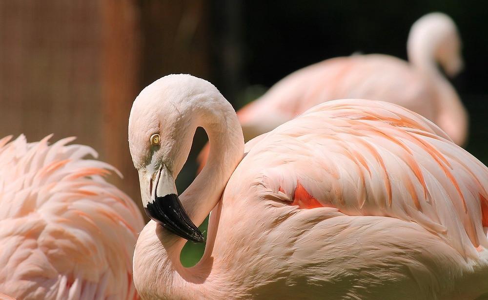Flamenco de color rosa pálido
