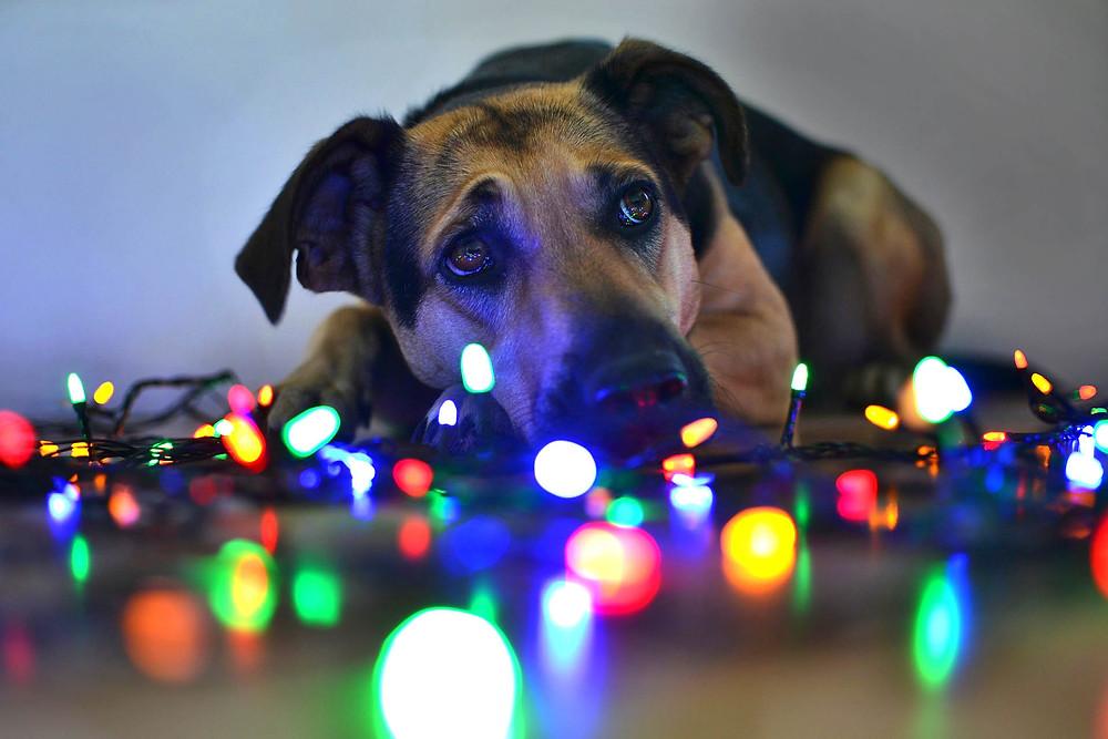 Perro rodeado de luces de Navidad con la cara triste