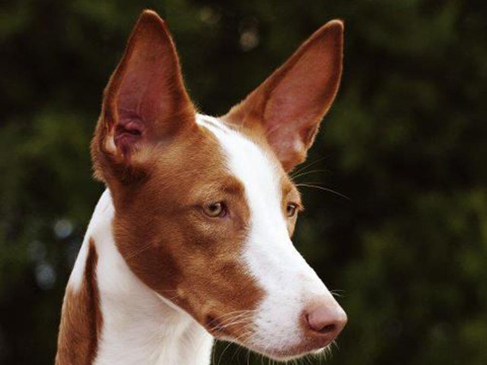 Podenco de color marron y blanco con las orejas de punta y de lado