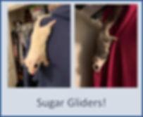 sugargliders.jpg