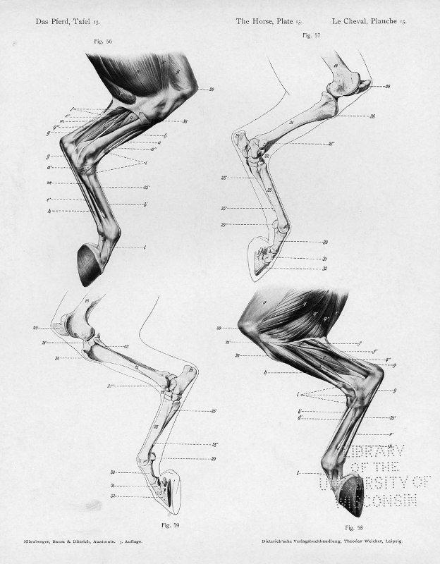 anatomía 1. patas