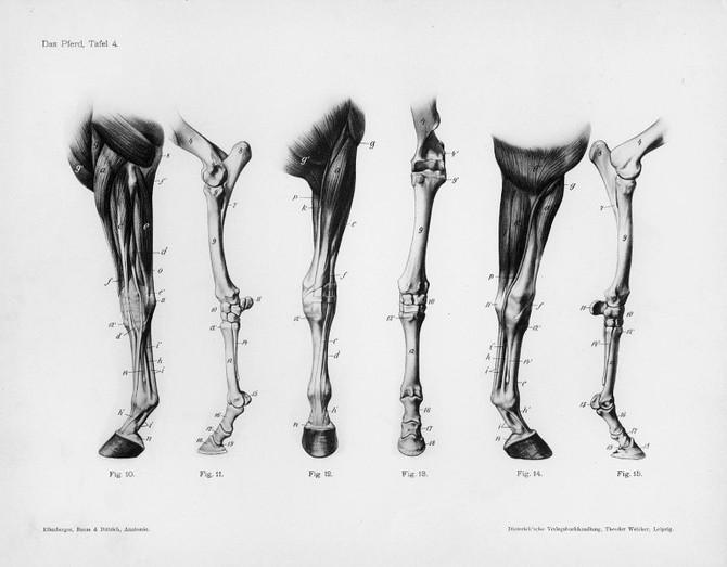 anatomía 2. patas