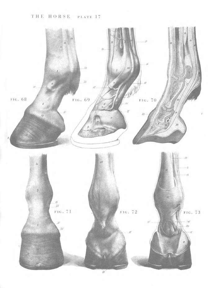 conformación . patas