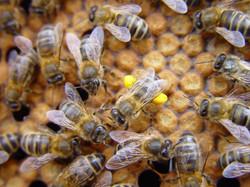 iberican bees