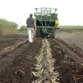 Caña de azúcar: la plantación mecánica sigue creciendo, gracias a sus ventajas