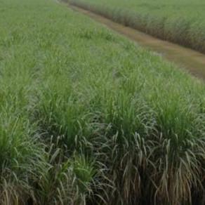 Unas 260 mil hectáreas es la superficie cultivada de caña de azúcar en Tucumán