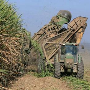 Esperan que se produzcan 1,66 millón de toneladas de azúcar