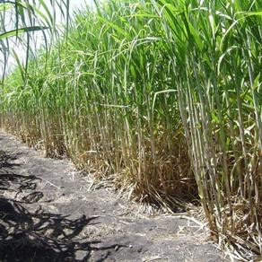 La caída de la demanda de etanol tritura la industria de la caña de azúcar de Brasil