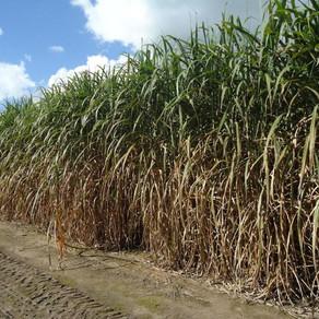 Caña de azúcar: cualquier productor puede tener un buen semillero