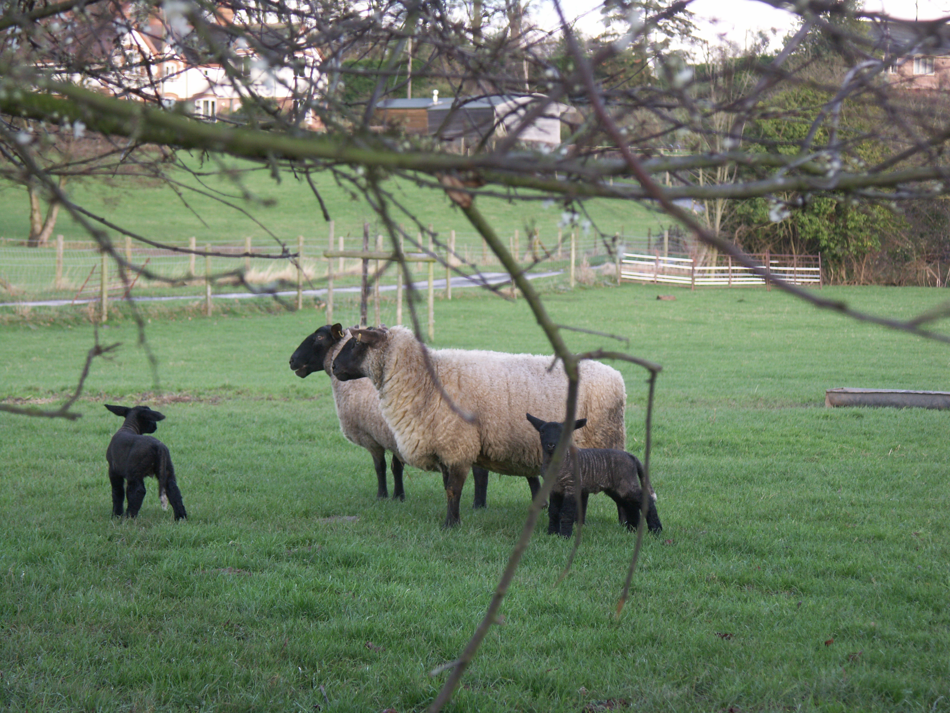 websitw ewes and lambs