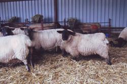 Adrian's sheep indoors