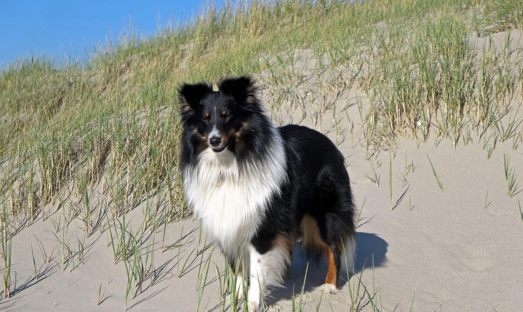 Shetland Tricolore
