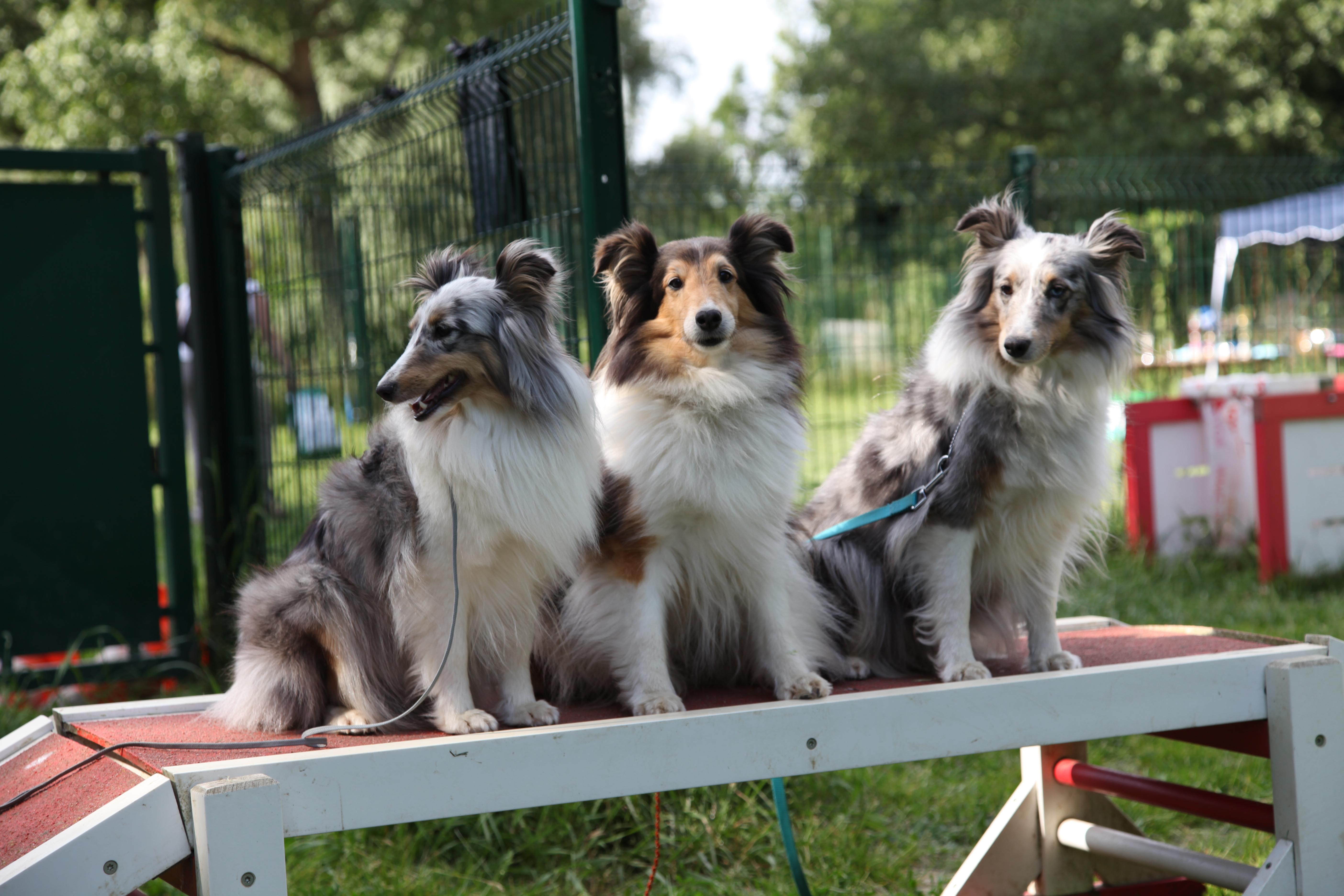 Trio de Shetland
