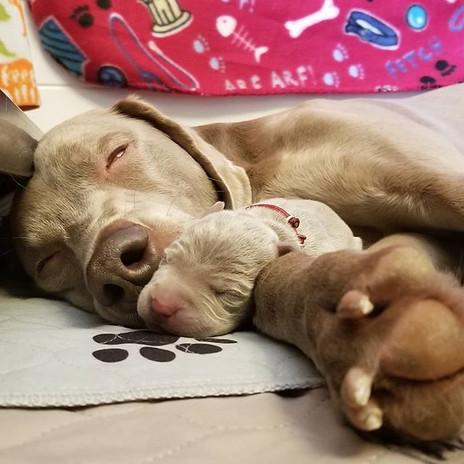 Red Boy loves his momma. #weimaranersofi