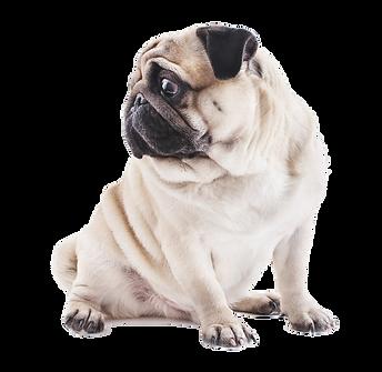 Pug looking at broadsheet history