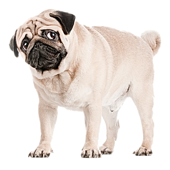 pugtransparentFlipped.png