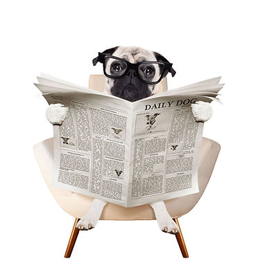 Pug with a tabloid newspaper
