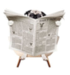 Pug with a broadsheet newspaper