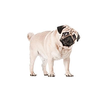 Newspaper Pug Dog