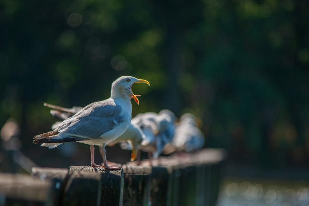 Yawning seagull