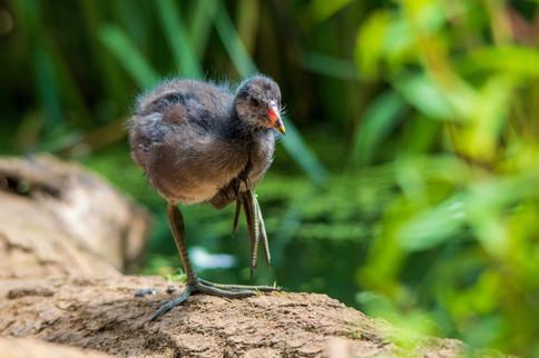 Chick walking along