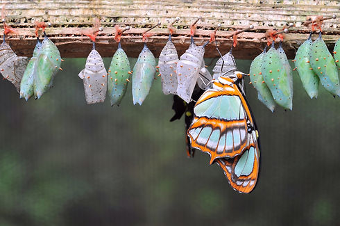Rows of butterfly cocoons and newly hatc