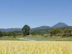 稲穂蓼科山を望む