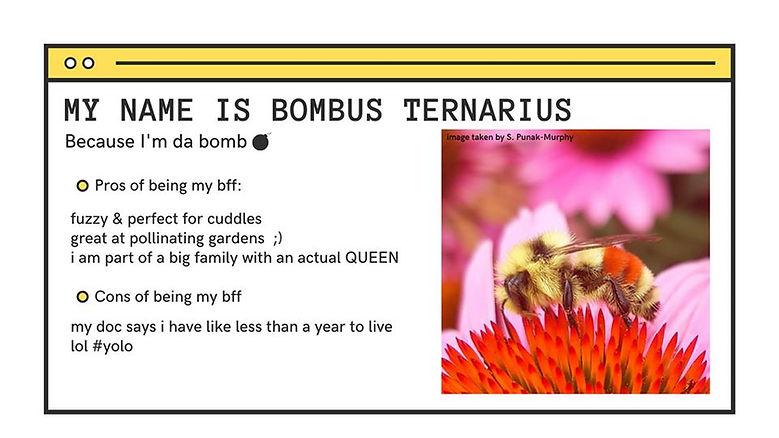 Bombus Ternarius.jpg