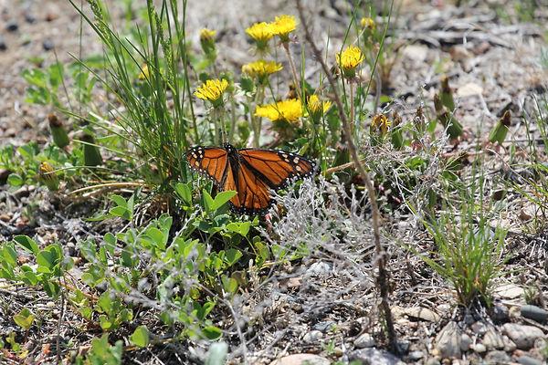 Monarch - Danaus plexippus5.jpg