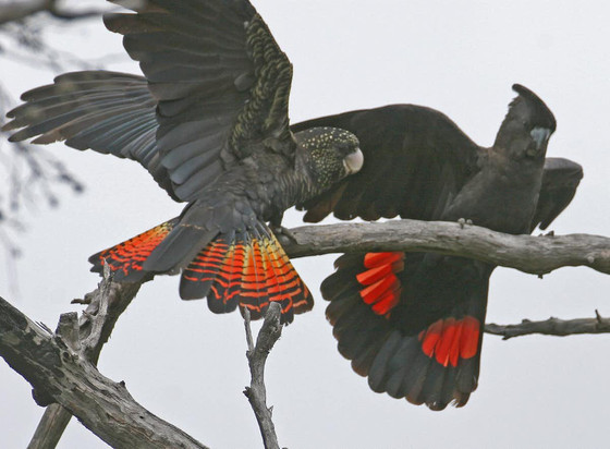 Australian Wildfires Put Parrots at Risk