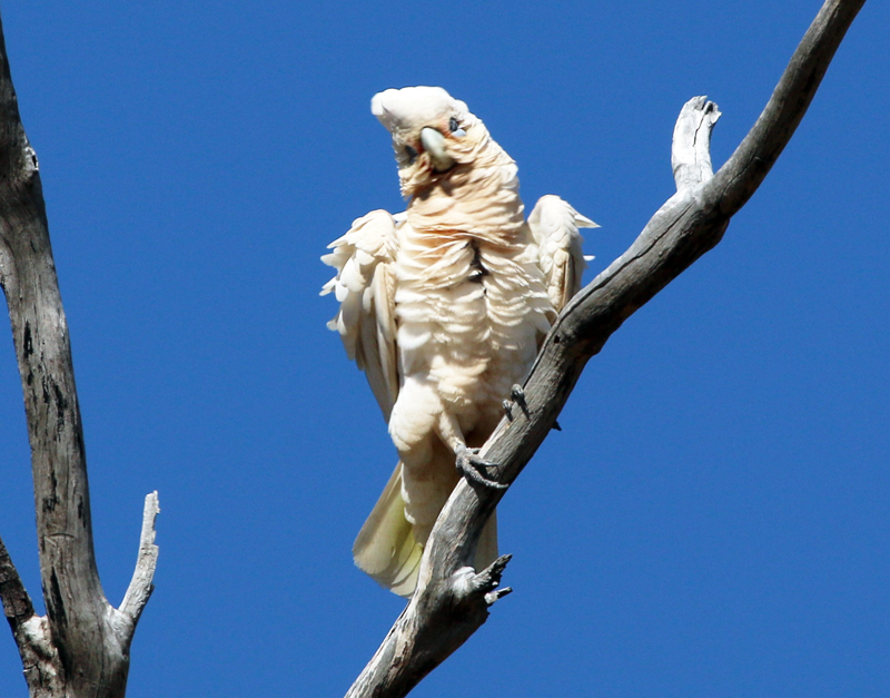 Little corella after preening