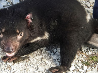 "AAAS coverage of latest paper: ""Tasmanian devils create landscape of fear"""