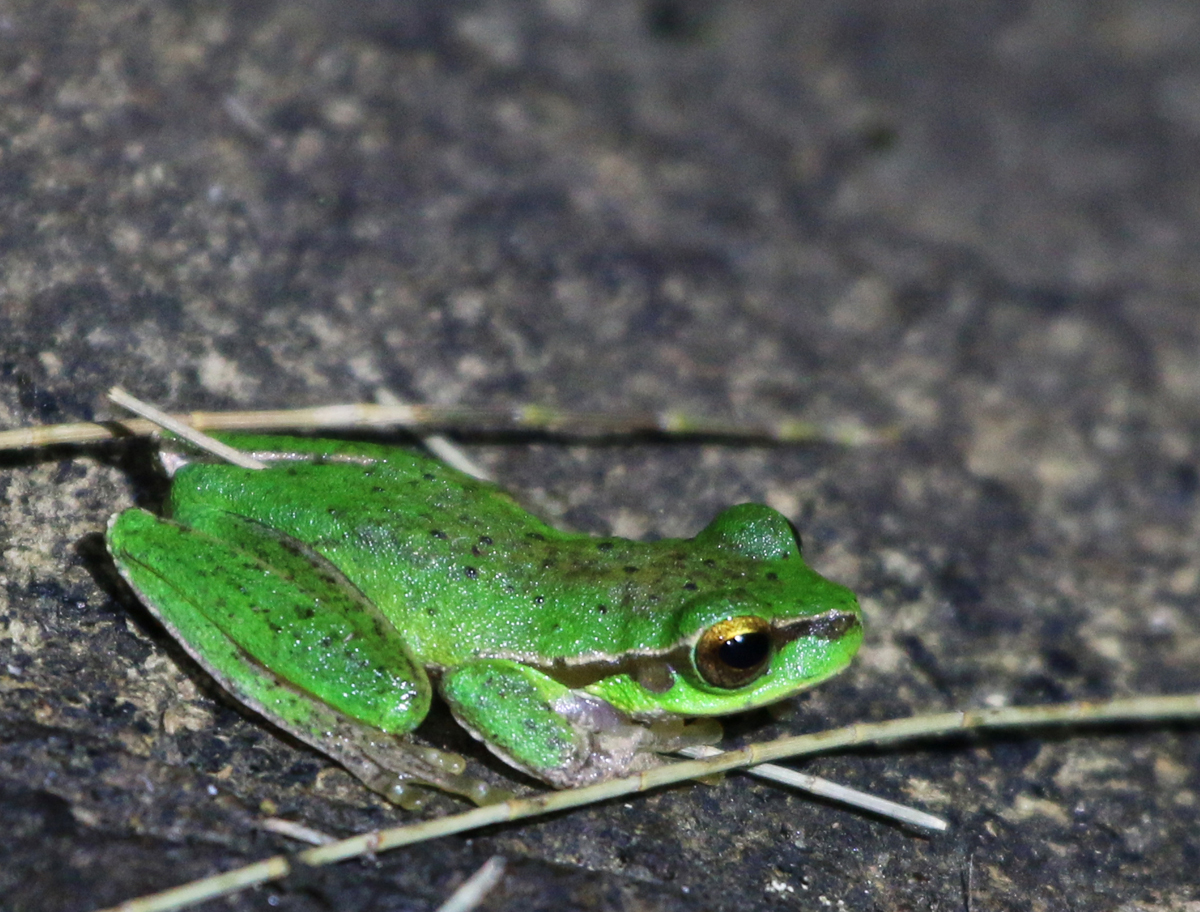 Pearson's tree frog