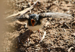 Fledgling willy wagtail