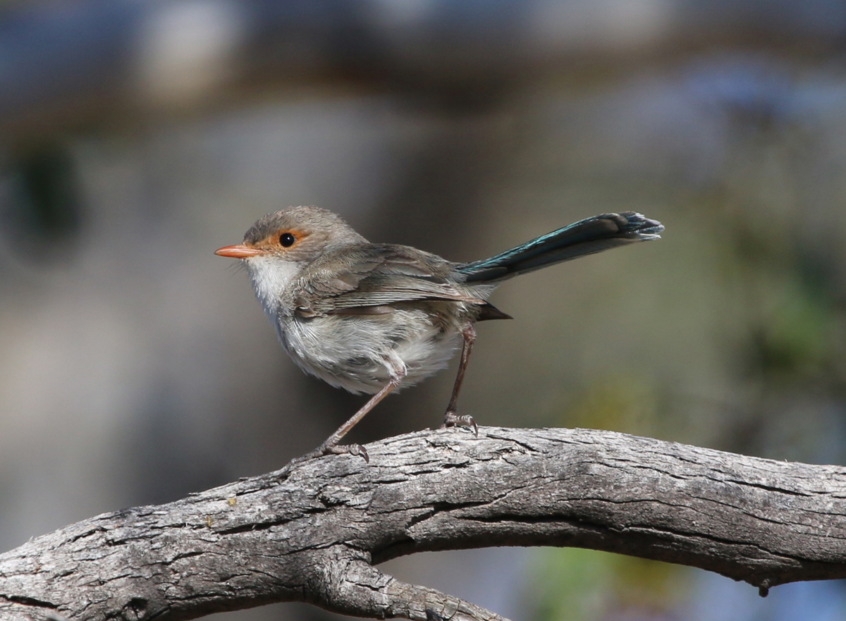 Female splendid fairywren