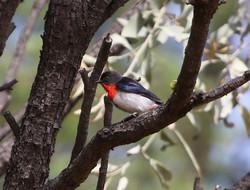 Mistletoebird, seed dropping right
