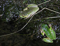 Pearson's tree frogs