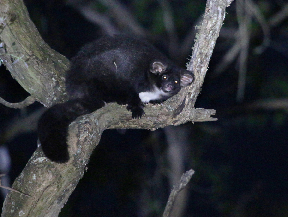 Black greater glider