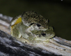 Peron's tree frogs in amplexus