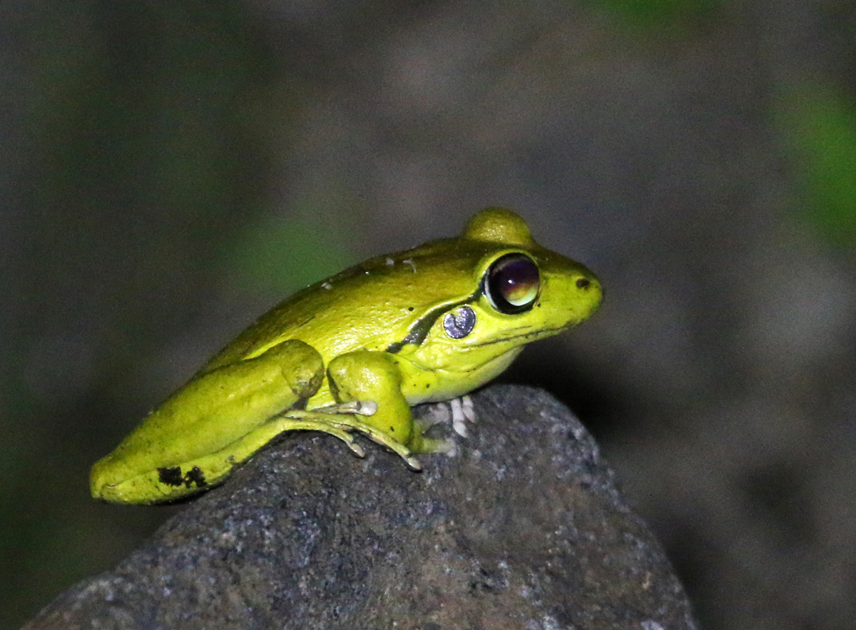 Male stoney creek frog