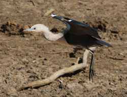 White-necked heron coming in to land