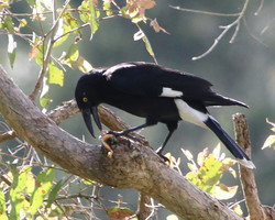 Pied currawong eating frog