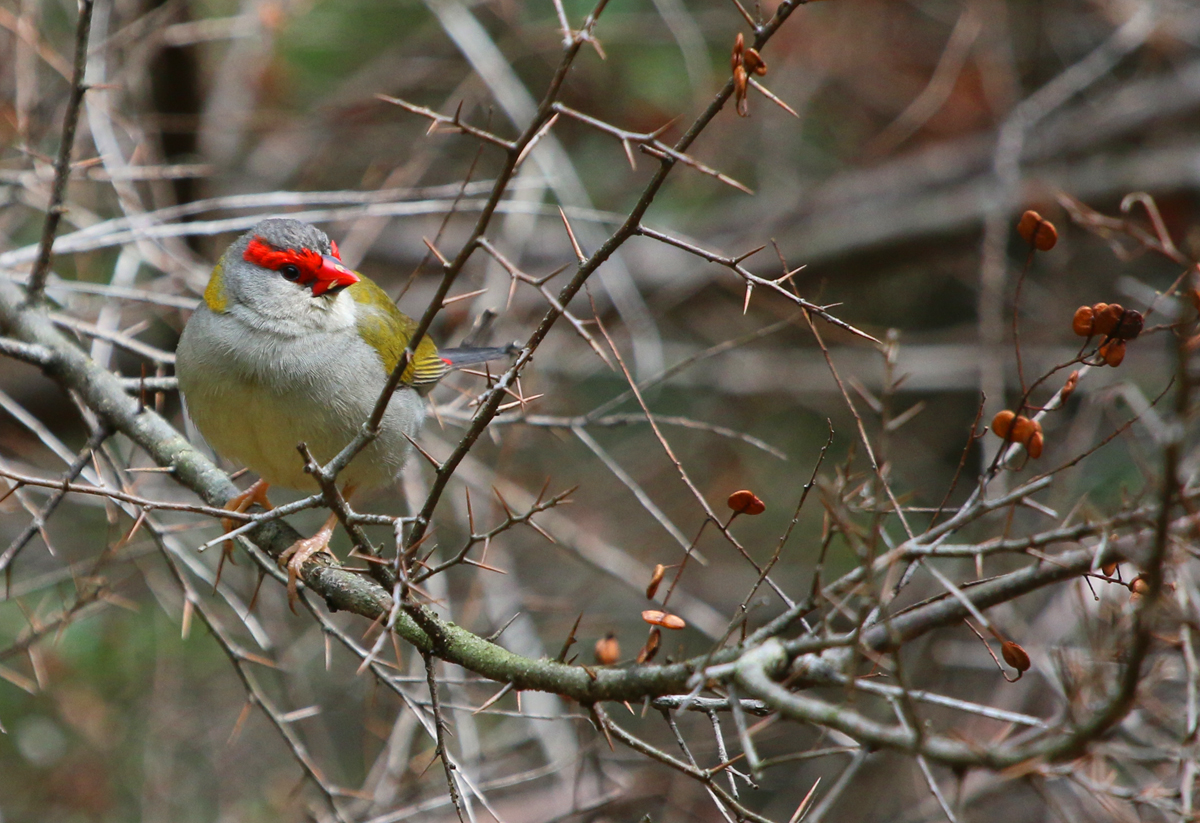 Red-browed firetail in spikey bush!