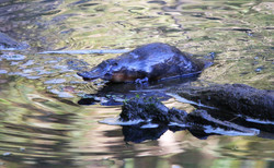 Fat platypus resting on log!