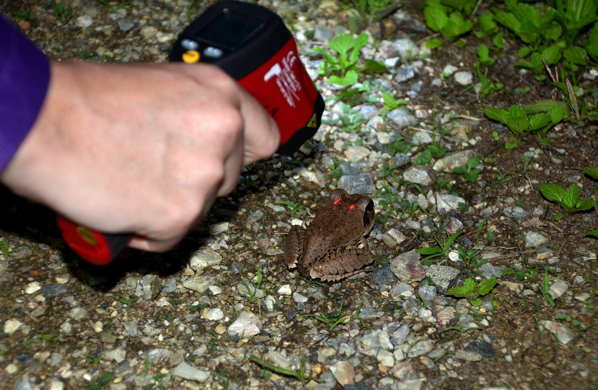 Measuring frog body temperature