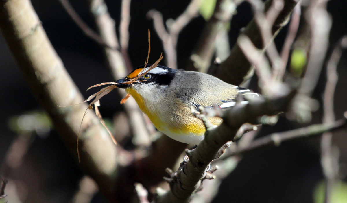 Striated pardalote nest-building