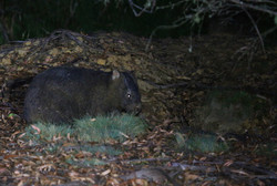 Common wombat about to enter burrow