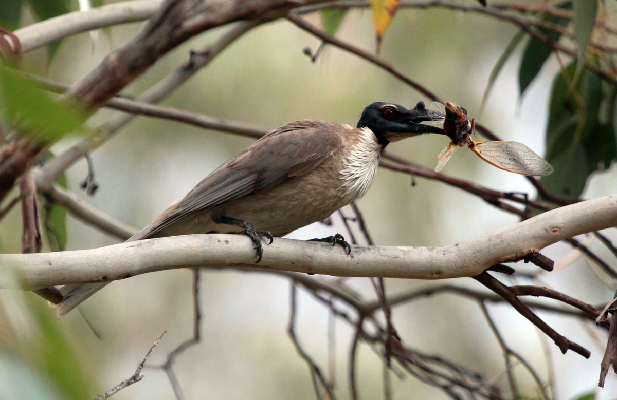 Noisy friarbird with cicada