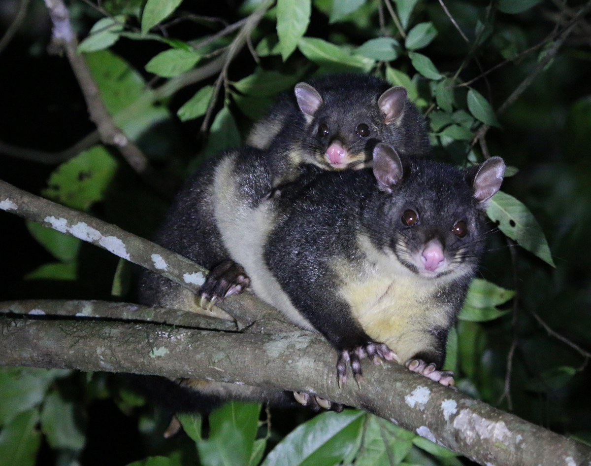 Mountain brushtail possum mum & bub